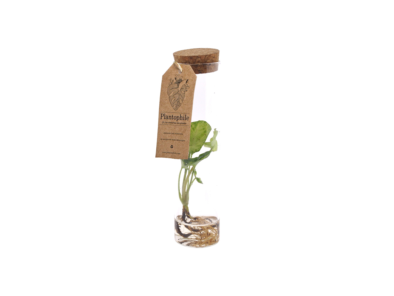 Syngonium Sprout in Vase With Water