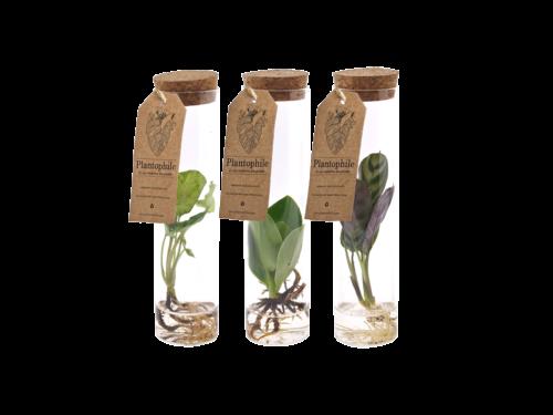 Waterplant mix sprouts calathea, clusia, syngonium