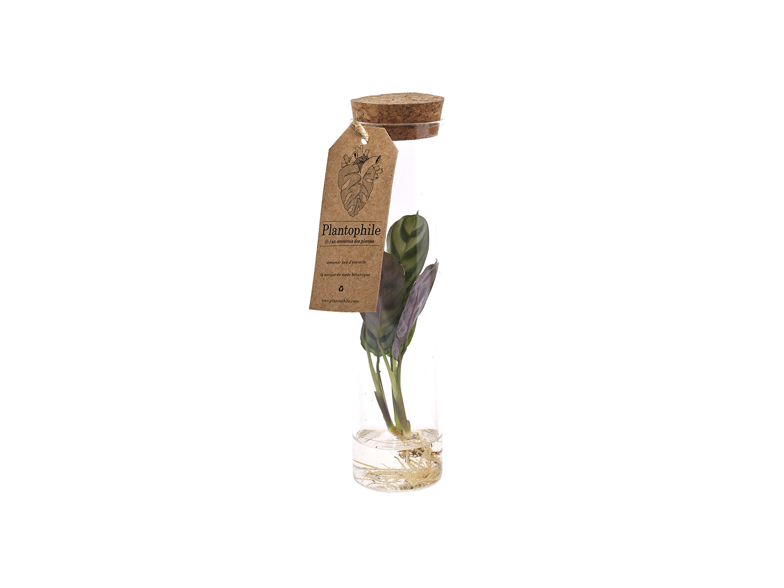 Calathea Sprout in Vase With Water