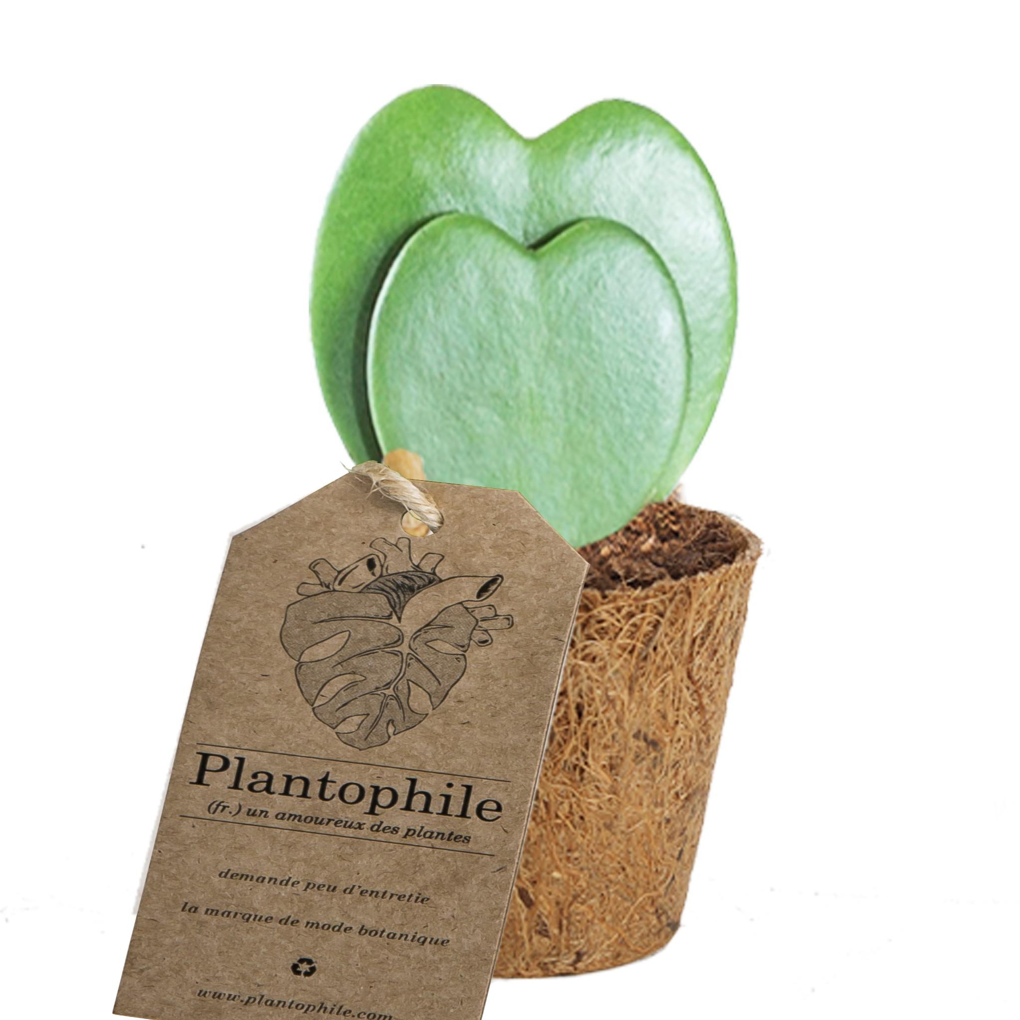 Hoya heart plant in compost pot