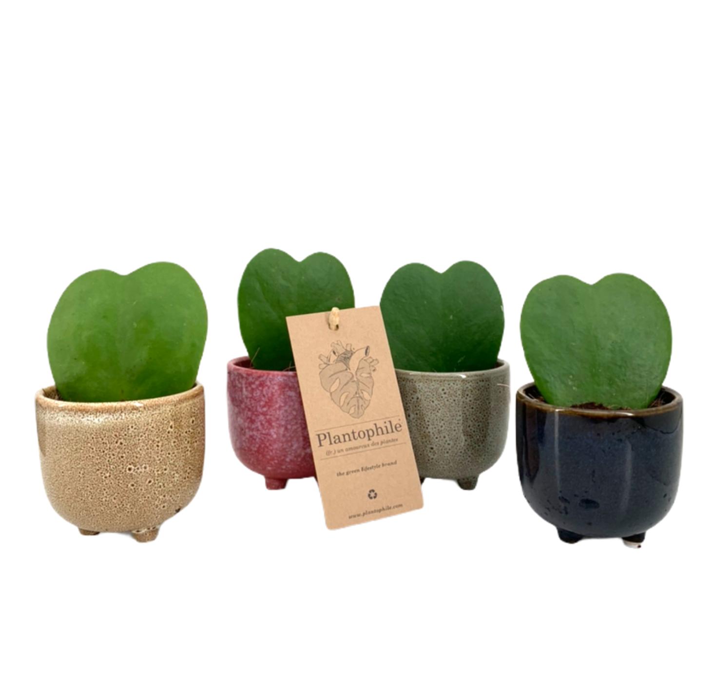 Hoya Heart Plants