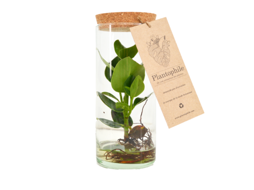 Clusia Plant In A Tube With Cork