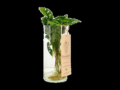 Monstera Obliqua Waterplant in Vase