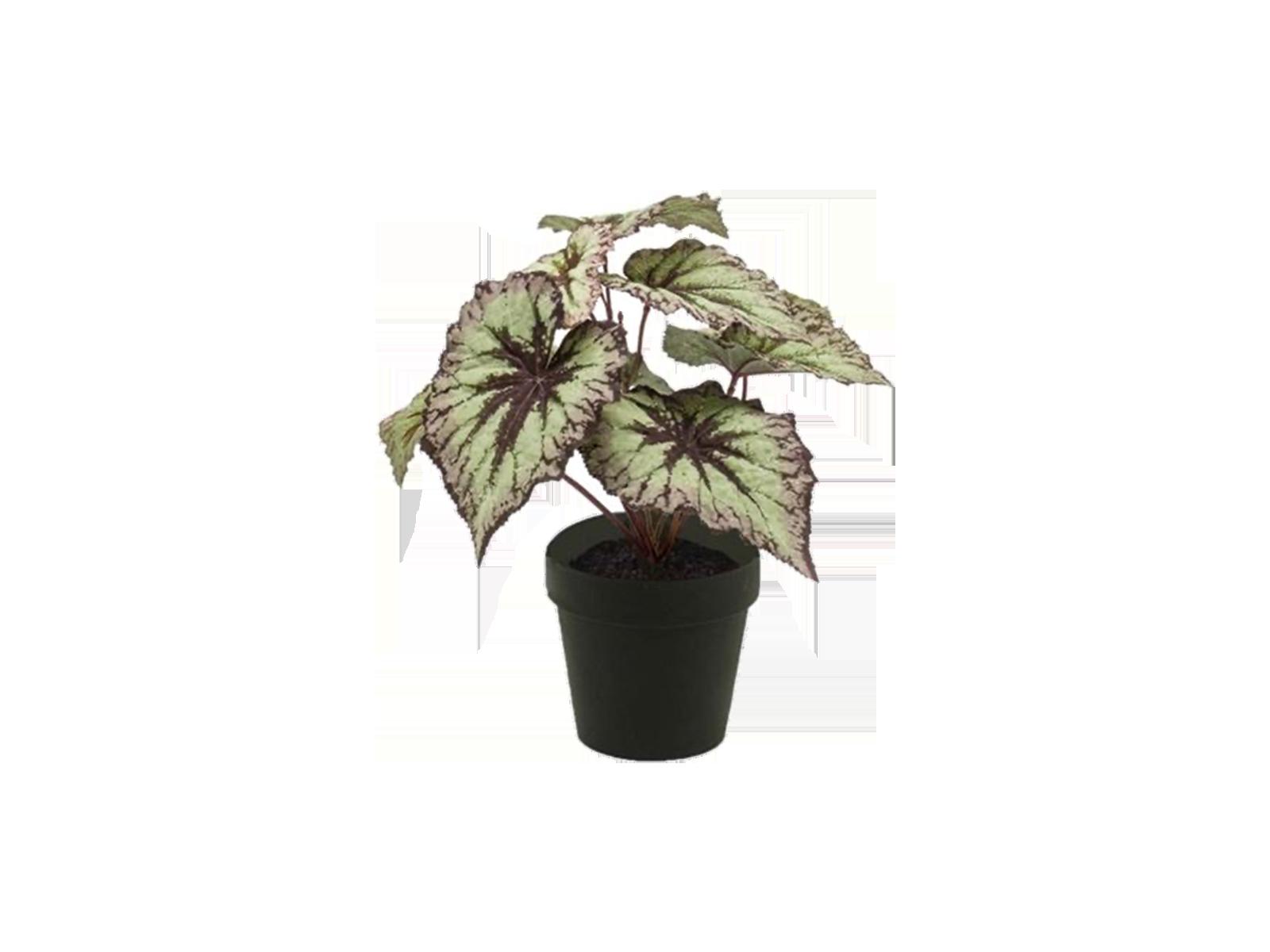 Begonia big leaves