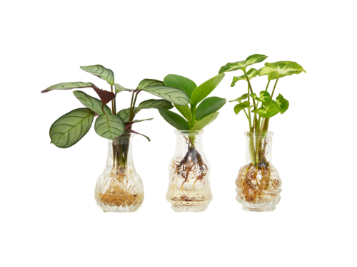Three mixed sprouts in vases: Clusia, Calathea, Syngonium